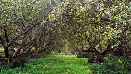 Tewin Orchard in fruit