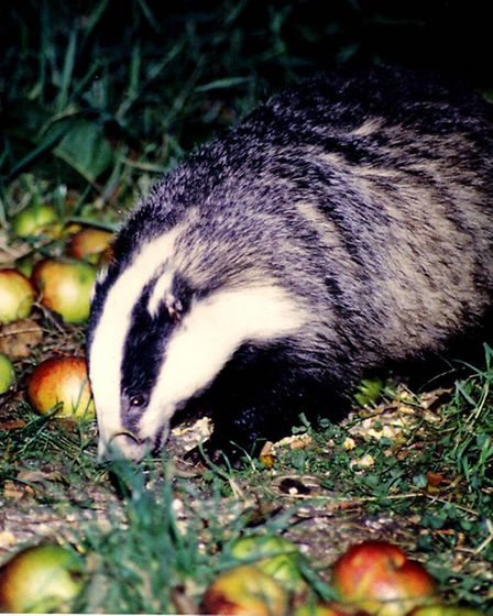 A badger enjoys the spoils at Tewin Orchard