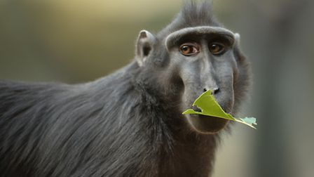 A Sulawesi macaque