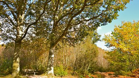 A bench beneath two old oaks amid the golden glory of Brede High Woods in October