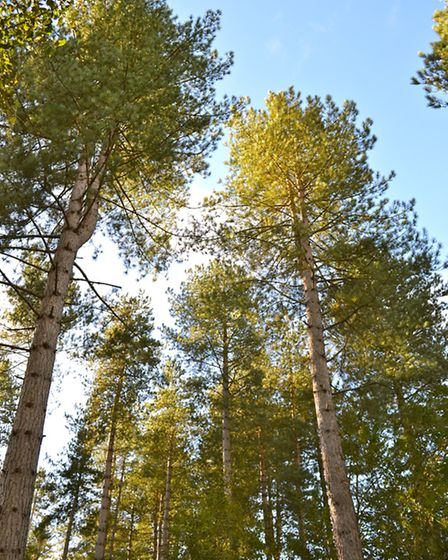 Pine trees soar for the skies in Brede High Woods