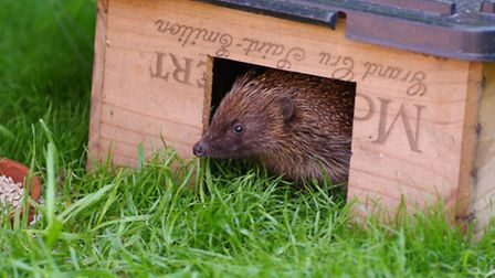 An upturned wooden crate or old wine box with an entrance cut out makes a good hedgehog home. Photo: