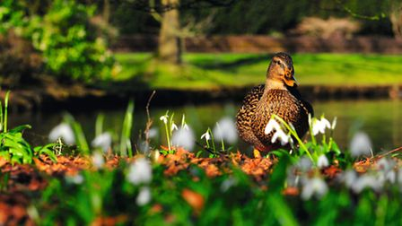 Cheshire Life 1st place 'Duck and Snowdrops' by Darren Moston