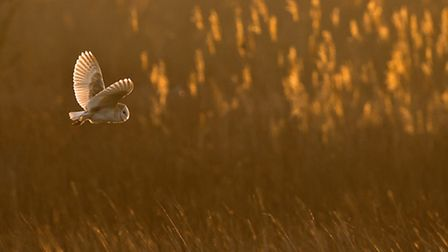 1st place fauna category: cat barn owl at sunrise, by Nigel Morley