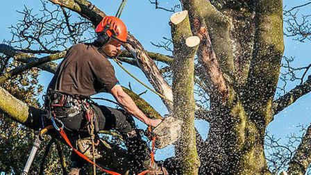 Tree surgeon hangingfrom ropes in a tree