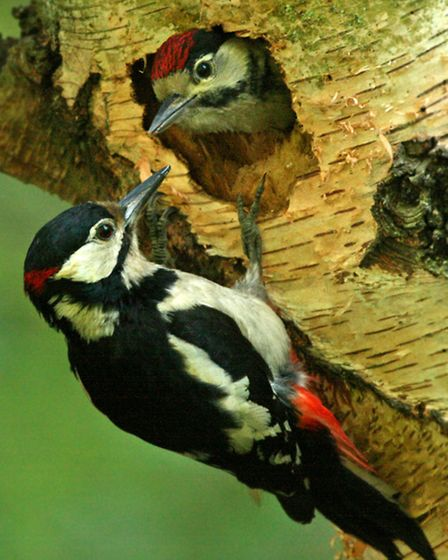 Great spotted woodpecker Photo Jon Hawkins