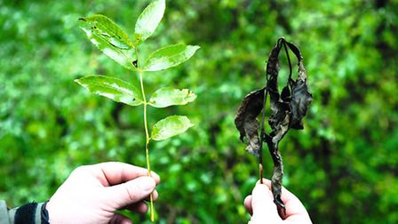 Healthy ash leaves and those affected by ash dieback