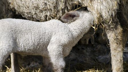 The first highlight of the season is lambing