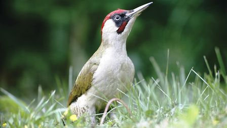 Green woodpeckers can be spotted hunting ants in the meadow