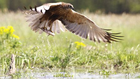 Marsh Harriers are one of the rarer visitors