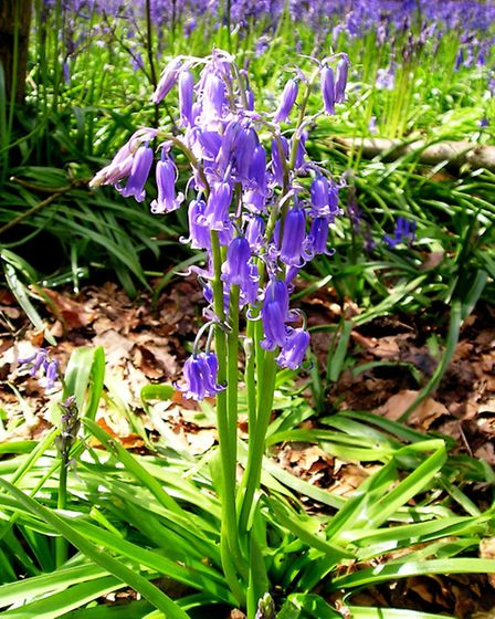 Native bluebell. Photo: Clare Grey