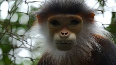 Red-shanked douc monkey in Vietnam