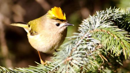 Goldcrest feed on insects that live on conifers on the site