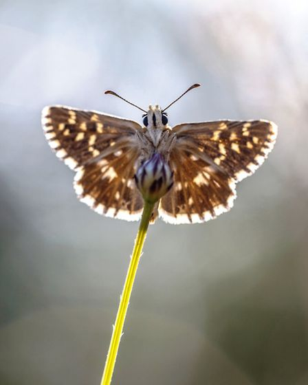 The locally rare grizzled skipper butterfly feeds on wild strawberry on the heath