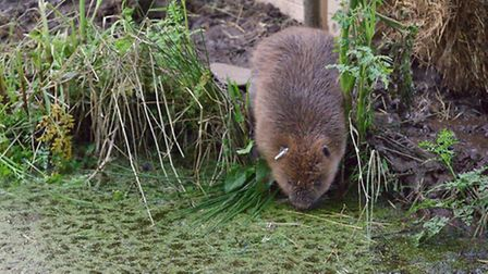 Female beaver enters the water