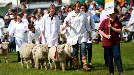 Southdown Sheep take their moment in the spotlight during the Livestock Parade in the Ardingly Ring