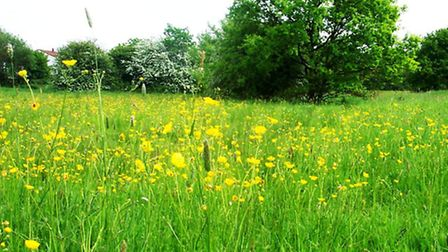 Buttercups fill the meadows in early summer (Photo: cms)