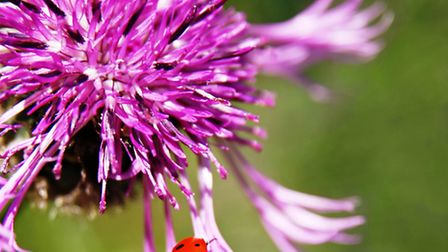 Black napweed is abundant in the meadows in late summer (Photo: Thinkstock)