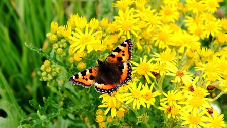 Ragwort - good for insects, potentially deadly to horses (Thinkstock)