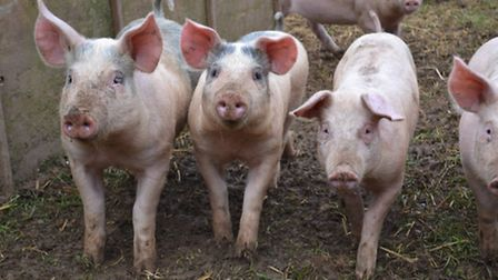 The pigs at Greenfield Pork