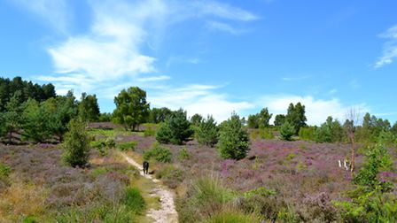 The heath of Iping Common is a patchwork of gorse, heather, moor grass, birch and pine