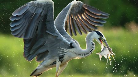 Grey heron are a stirring sight on the river