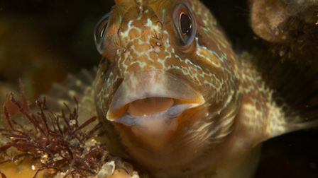 A Tompot Blenny nestles in the rocks (Photo by Polly Whyte)