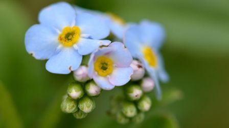 More sunlight will help plants such as water forget-me-not (Getty Images)