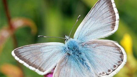 Chalkhill blue, Hertfordshire is one of the few places to see it (Jim Higham)