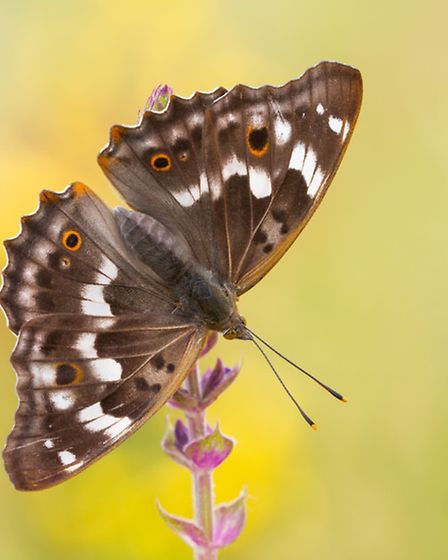 The elusive and impressive purple emperor may be seen at Danesmead and Balls Wood (Getty Images/iSto