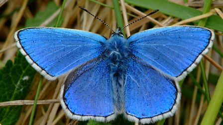 Adonis Blue Butterfly, by Mark Heighes