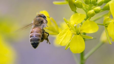 A honeybee taking nectar from and thereby pollinating rapeseed