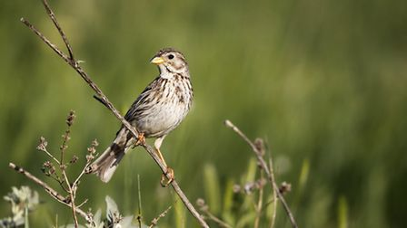 Corn bunting, one of 19 farmland dependent bird species in the UK