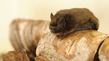 The Pipistrelle Bat needs our gardens for food