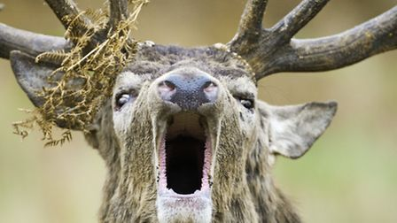 """Deer in Knepp Woodlands, Horsham - """"I took this picture of a roaring stag last October, during the"""