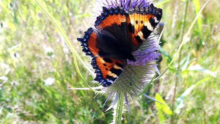 Small tortoishell feeding on thistles in Tewin Orchard