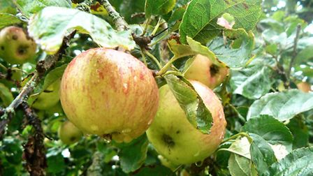 Pruning of trees allows air, light and space to benefit fruit growth