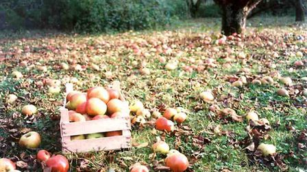 Windfall at the orchard in autumn