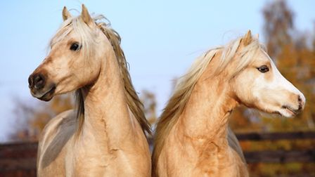 A change of diet can bring about colic in horses