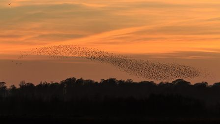 Murmurations are triggered by single birds passing on a change of direction to just six neighbours