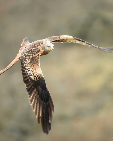 Red kite can be seen hovering over the valley (thinkstock)