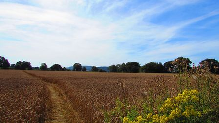 Much of the walk takes us through crop fields