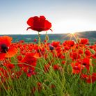 The poppy is our national symbol of remembrance.The wearing of it, however is a voluntary act © Serg