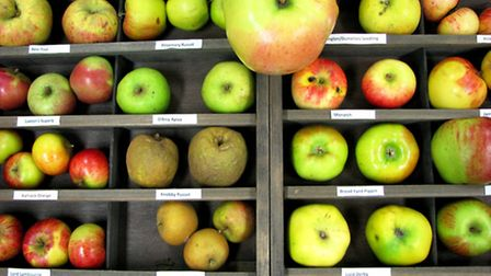 Just some of the huge number of apple varieties - do you have a mystery one at home? (PTES)