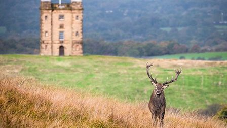 Red deer stag & The Cage at Lyme Park by Garry Lomas