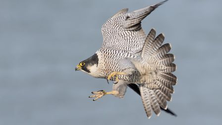 """Fauna category: 1st place: Ian Hufton from Canterbury, Peregrine falcon hunting over White Cliffs of Dover """"A dynamic and..."""