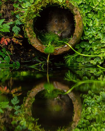 """2nd Place: Philip Petrou from Forest Hill, Inquisitive water vole, East Malling. """"A nice composition"""