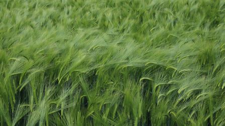 """2nd Place: Ruth Winter from Kemsing, Barley field, Horton Kirby. """"Again, a different view, utilising"""