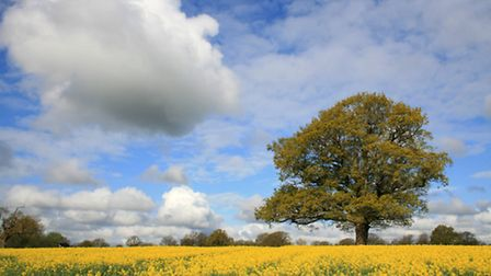 """3rd Place: Oliver Mannion from Canterbury, Rape seed, High Halden. """"A classic view of a rape seed fi"""