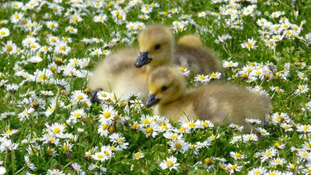 """2nd Place: James Brimson from Bexley, Ducklings at Hall Place Gardens, Bexley. """"We always need the c"""